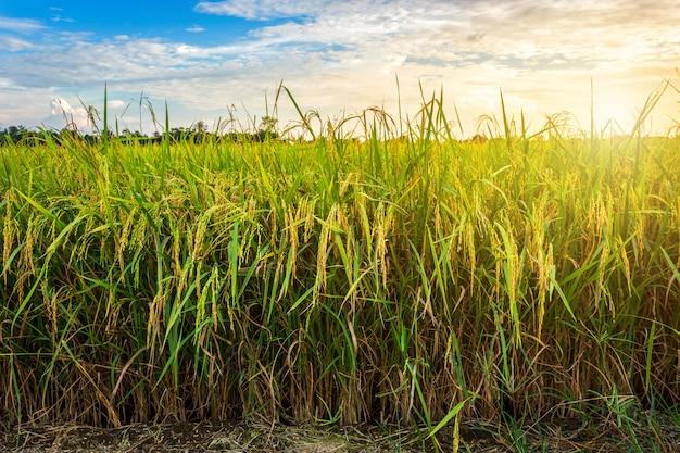 Campo de maíz verde hermoso con el cielo de la puesta del sol. Foto Premium