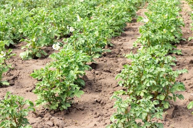 Campo de papas con brotes verdes de papas. paisaje con campos agrícolas en tiempo soleado Foto Premium