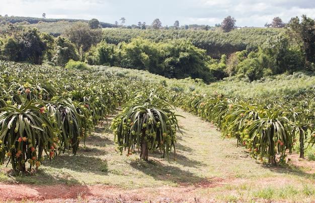 Campo de la plantación de la fruta del dragón en tailandia, esta es la fruta favorita en asia Foto Premium