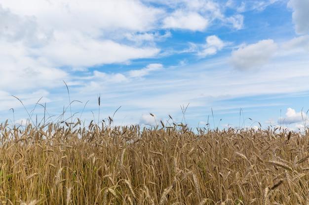 Campo de trigo y cielo azul en sommer Foto Premium