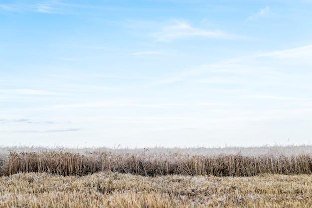 Campo de trigo con cielo despejado en el fondo Foto gratis
