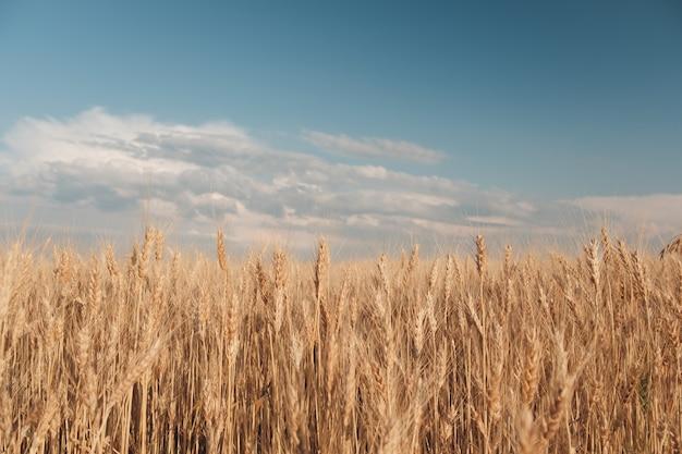 Campo de trigo dorado Foto gratis