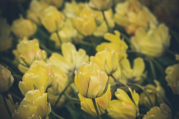 Campo de tulipanes amarillos en los países bajos Foto Premium