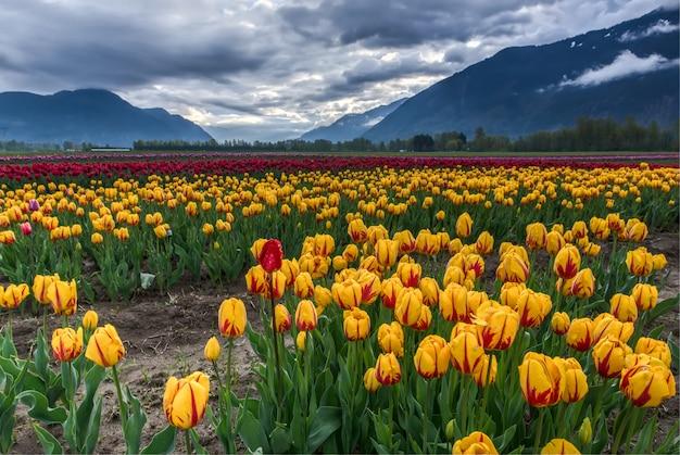 Campo de tulipanes amarillos y rojos Foto gratis