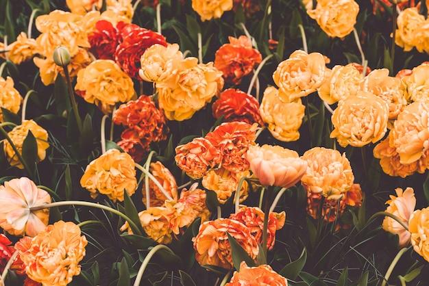 Campo de tulipanes multicolor en los países bajos Foto Premium