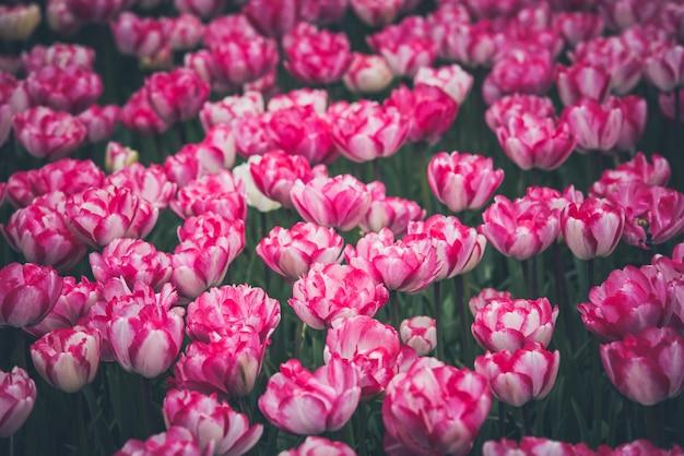 Campo de tulipanes multicolores en los países bajos Foto Premium