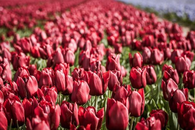 Campo de tulipanes rojos en los países bajos Foto Premium