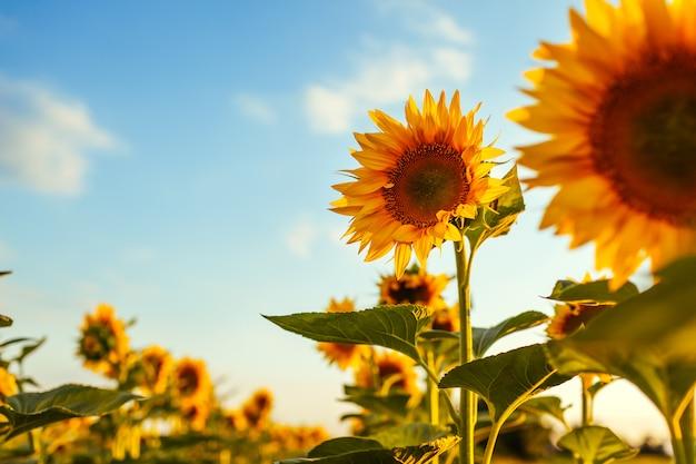 Campo del verano de girasoles florecientes en la puesta del sol con el cielo azul arriba. Foto Premium