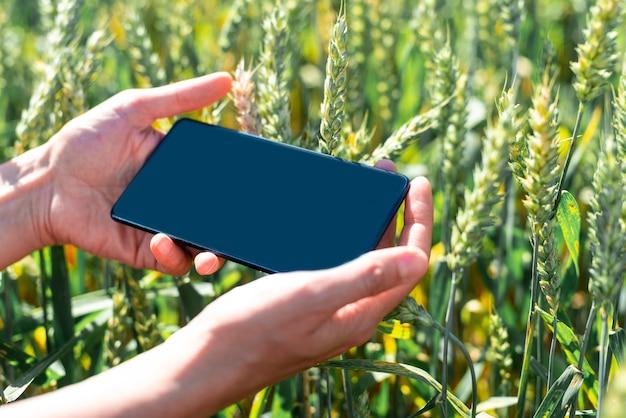 Campo verde con centeno y teléfono inteligente en manos de los agricultores Foto Premium