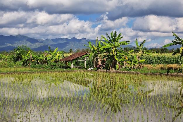 Campos de arroz en la aldea de indonesia Foto Premium