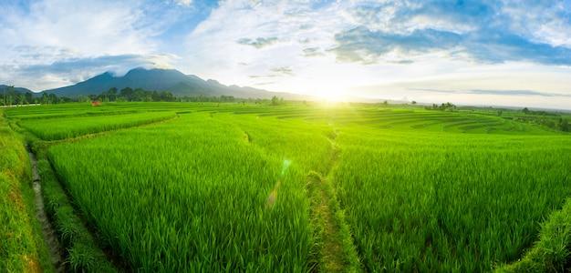 Campos de arroz de panorama en la luz de la mañana Foto Premium