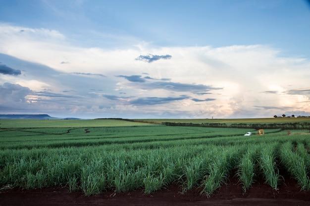 Campos de caña de azúcar brasileños en la puesta de sol. Foto gratis