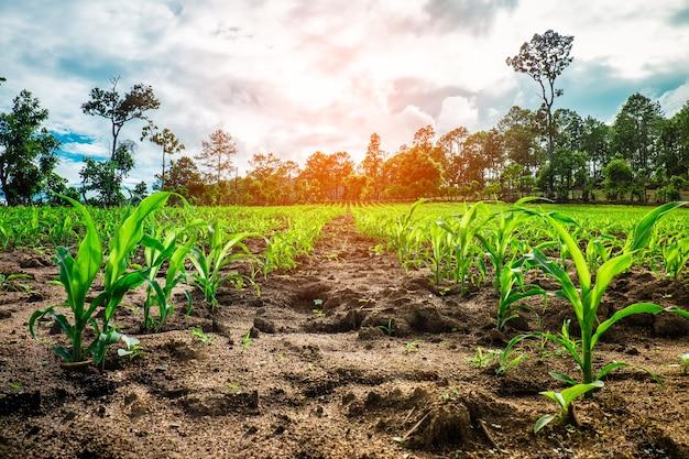 Campos de maíz - tema de fotografía de agricultura. pequeñas plantas de maíz. Foto Premium