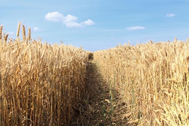 Campos de trigo bajo el sol en el verano antes de la cosecha Foto Premium