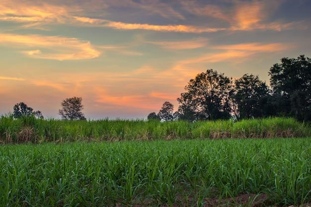 Caña de azúcar con el fondo de la naturaleza de la fotografía del cielo del atardecer del paisaje. Foto Premium