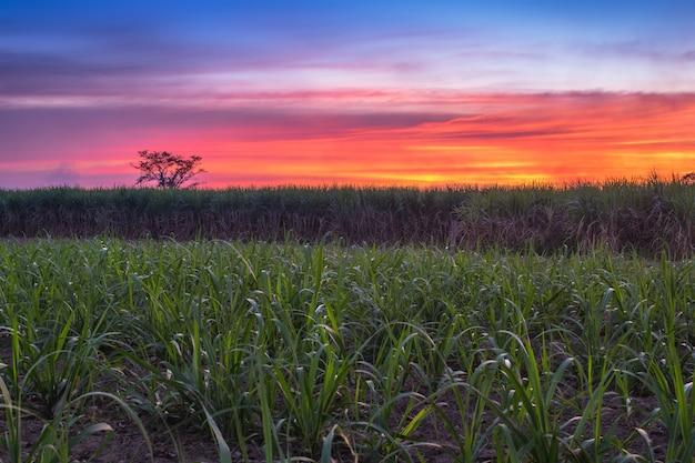 Caña de azúcar con la naturaleza de la fotografía del cielo de la puesta del sol del paisaje. Foto Premium