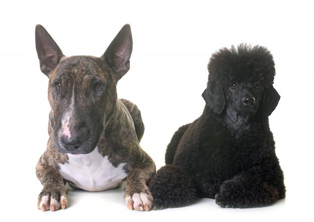 Caniche enano negro y bull terrier Foto Premium