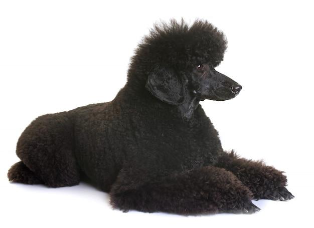Caniche enano negro Foto Premium