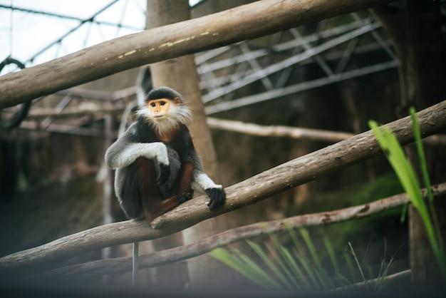 Cano rojo douc en el zoológico. concepto de los animales Foto gratis