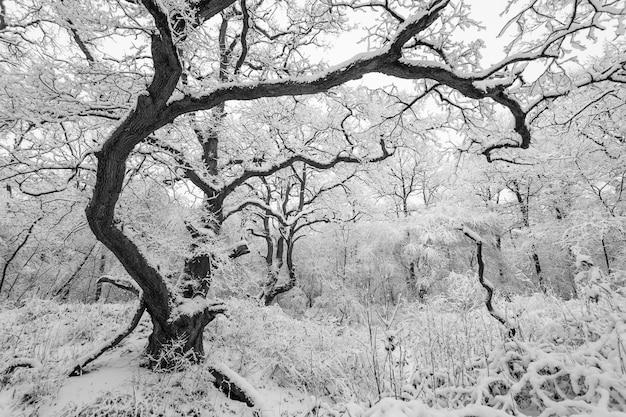 Captura fascinante de un bosque con árboles cubiertos de nieve en invierno Foto gratis