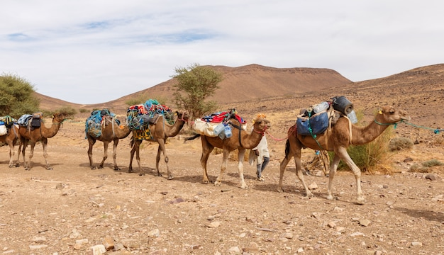 Caravana de camellos atravesando el desierto. Foto Premium