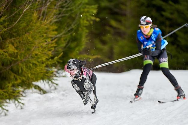 Carreras de perros skijoring Foto Premium