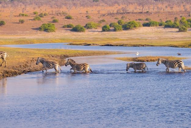 Cebras cruzando el río chobe. brillante luz cálida del atardecer. wildlife safari en los parques nacionales africanos y reservas de vida silvestre. Foto Premium