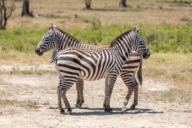 Cebras en las praderas Foto gratis