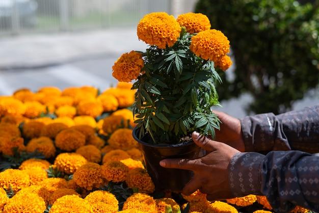 Cempasuchil flores de caléndula amarilla cempazúchitl para altares del día de los muertos méxico Foto Premium