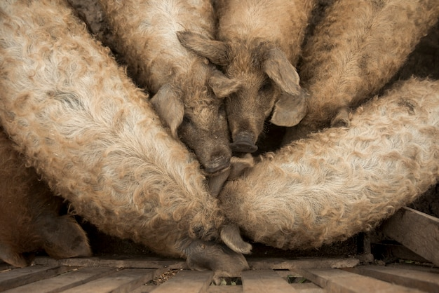 Cerdos en la pocilga de una granja Foto gratis