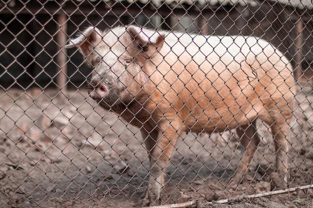 Cerdos rosados esperando alimento en la granja Foto Premium