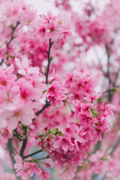 Cerezos En Flor En Taiwán Descargar Fotos Premium