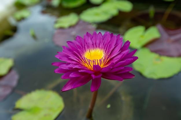 Cerrar flor de loto rosa Foto Premium