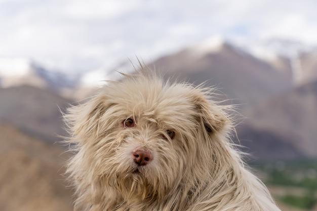 Cerrar perro sin hogar en leh ladakh del norte de la india Foto Premium