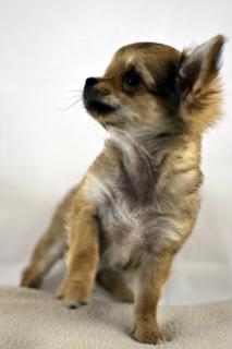 Perro Chihuahua | Fotos y Vectores gratis