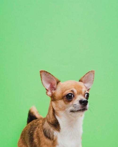 Chihuahua retrato sobre fondo verde Foto gratis
