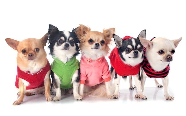 Chihuahuas vestidos Foto Premium
