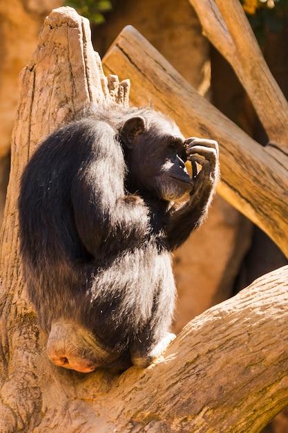 Chimpancé Foto gratis