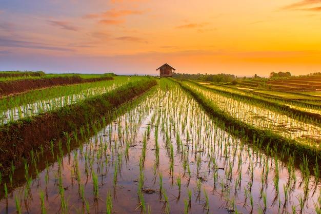 Cielo de la mañana en los campos de arroz en indonesia Foto Premium