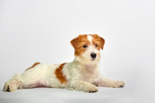 Cierre del perrito de jack russell terrier para arriba en blanco, copyspace. tiro del estudio Foto Premium
