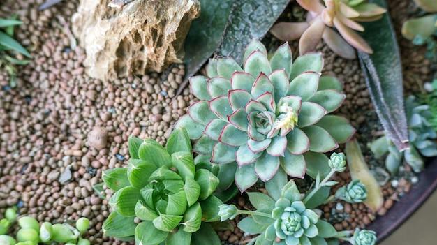 Ciérrese para arriba del cactus suculento en un jardín. Foto Premium