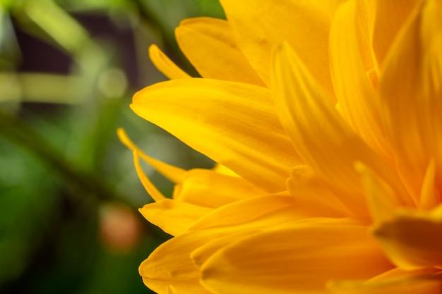 Ciérrese para arriba de la flor amarilla, macro. floral y natural. Foto Premium