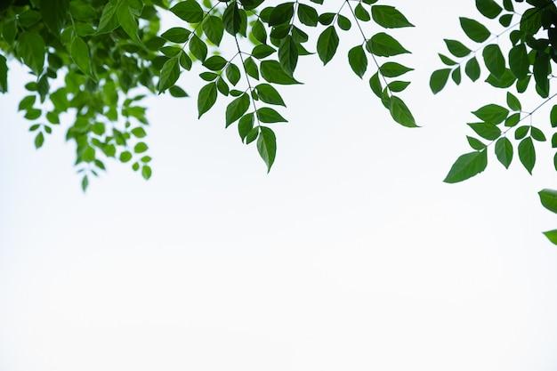 Ciérrese para arriba de la hoja de árbol de corcho verde de la vista de la naturaleza en el fondo blanco de cielo claro bajo luz del sol y copie el espacio Foto Premium