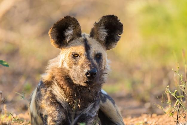 Ciérrese para arriba y retrato de un perro salvaje lindo o lycaon que se acuesta en el arbusto. wildlife safari en el parque nacional kruger, el principal destino turístico de sudáfrica. Foto Premium