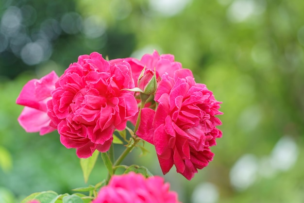 demo 24 - Fotos De Rosas Rojas Grandes