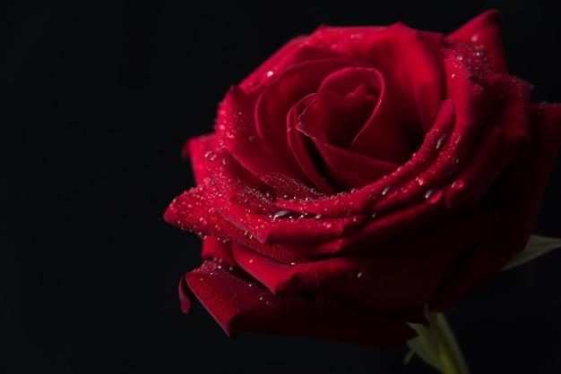 Ciérrese Para Arriba De Rosas Rojas Hermosas En Fondo