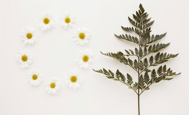 Círculo de brotes de flor de margarita cerca de la ramita de la planta Foto gratis