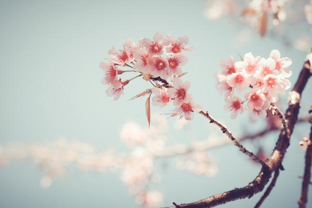 Close-up de la bella flor de árbol sakura vintage (flor de cerezo ...