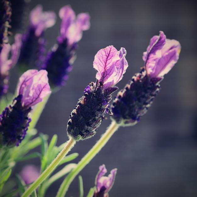Close Up De Flores De Lavanda En Primavera Descargar Fotos Gratis