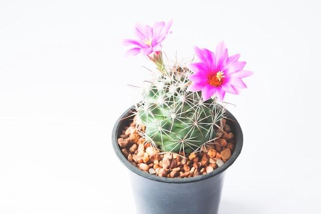 Closeup de cactus con flores de color rosa sobre fondo blanco   Foto Gratis